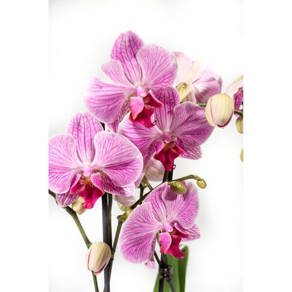Črepníková orchidea
